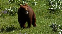 Juvenile Grizzly Bear Running Through Forest, Grass Field