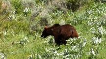 Juvenile Grizzly Bear Walking Foraging On Hillside