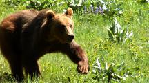 Juvenile Grizzly Bear Running Through Forest