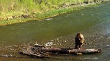 Adult Grizzly Bear Feeding On Rainbow Trout In Stream