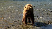 Adult Grizzly Bear Foraging Along River