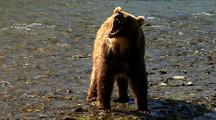 Adult Grizzly Bear Snarling At River