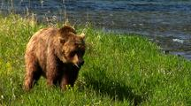 Adult Grizzly Bear Foraging At River