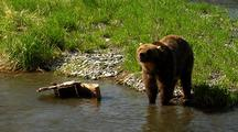 Adult Grizzly Bear Feeding And Exploring Along River Bank