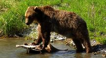 Adult Grizzly Bear Exploring River Bank