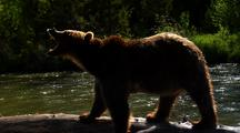 Adult Grizzly On Deadfall In River, Snarling
