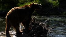 Adult Grizzly On Deadfall In River Feeding On Fish
