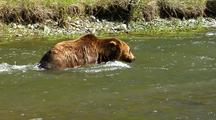 Adult Grizzly Bear Fishing And Swimming  In Strong River Current