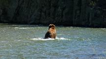 Adult Grizzly Bear Fishing In Strong River Current