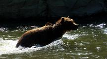 Adult Grizzly Bear Swimming, Splashing In Strong Current Of River, Fishing