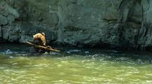 Adult Grizzly Bear Playing With Tree Limb In Strong Current Of River, Fishing
