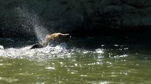Adult Grizzly Bear Swimming In Strong Current Of River, Fishing