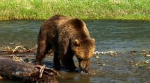 Adult Grizzly Bear Catches Rainbow Trout In Stream