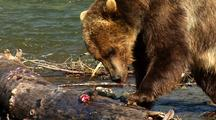Adult Grizzly Bear Tears Log In Stream