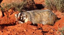 Badger  Digging Burrow Using Back Feet To Push Away Dirt Stopping To Listen And Look Around