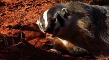 Badger Eating Prey
