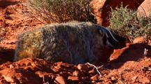 Badger Digging Burrow Stopping To Listen And Look Around