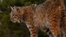 Bobcat Looking Around Walking