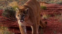 Mountain Lion In Red Rock Desert