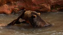 Grizzly Bear Swimming, Splashing And Playing In River