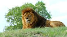Male African Lion Rests On Hill