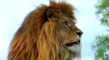 Male African Lion Rests On Hill, Walks Away
