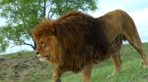 Male African Lion Walks On Grassy Hill