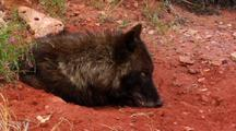 Black Wolf With Litter Of Pups In Red Dirt