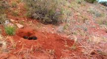 Black Wolf Approaches Litter Of Pups In Red Dirt