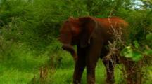 African Elephant In Kruger National Park, South Africa