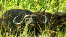 Cape Buffalo Displaying Kruger National Park, South Africa