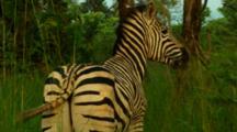Plains Zebra Walking Into Tall Grass