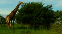 Giraffe Grazing On Top Branches Of A Tree