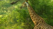 Giraffe Slowly Moving Through The Trees