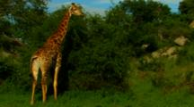 Giraffe Defecating Then Goes Back To Grazing