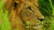 Africa. African Lion Resting In Tall Grass