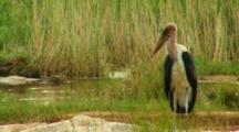 Marabou Stork, Undertaker Bird, South Africa, Kruger National Park