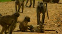 Young Baboons Playing And Wrestling On Road