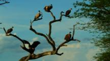 Vultures Perched In A Tree Looking Around Then Take Off One By One