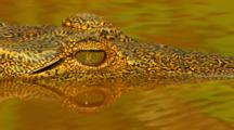 Young Crocodile Floating In A River Kruger National Park, South Africa