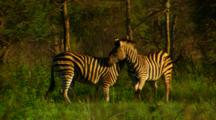 Plains Zebra Rearing Up And Mock Fighting Each Other