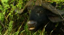 Cape Buffalo Close-Up Chewing, Kruger National Park, South Africa