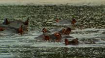 Hippopotamus Emerging From River, Kruger National Park, South Africa