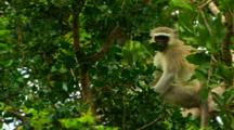 Vervet Monkey Perched In Tree Looking Around