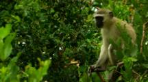 Vervet Monkey Perched In A Tree Eating And Looking Around
