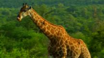 Oxpecker Lands On Giraffe As It Walks Through Tall African Shrubs And Trees