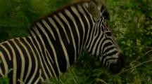Plains Zebra Zoom Out
