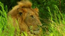 Africa. Lion resting in tall grass