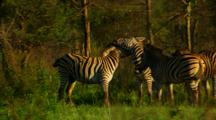 Zebras Rearing And Mock Fighting