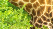Closeup Of Pattern On Giraffe As It Grazes